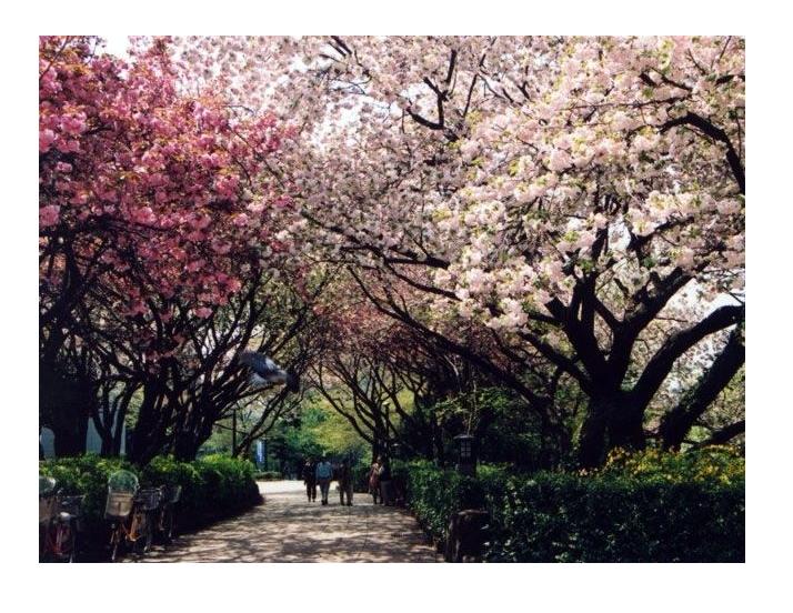 桜の名所おすすめの穴場スポット4:飛鳥山公園