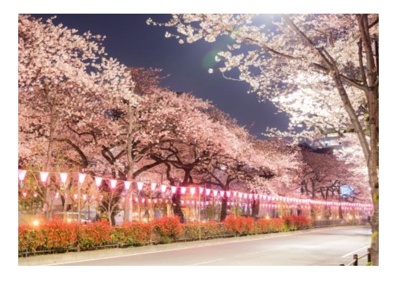 桜の名所おすすめの穴場スポット12:播磨坂